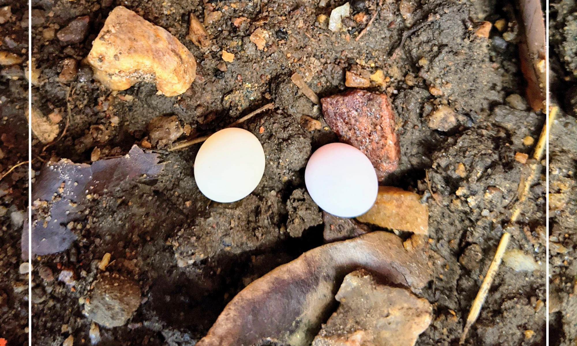 gecko eggs seasideinnroatan